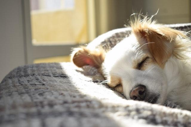 Biely pes s ryšavými ušami spí v posteli